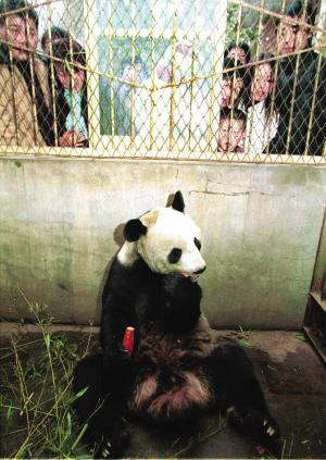 西安秦岭野生动物园大熊猫肺部淤血死亡(组图)-国际; 动物博库之大