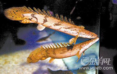 恐龙鱼图片_913快乐垂钓恐龙鱼水族里的活化石
