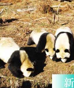 卧龙大熊猫只听懂四川话豪华住所耗资千万