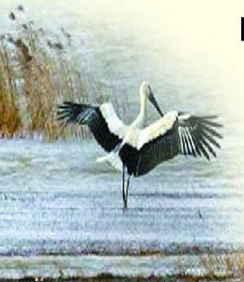 这只白色大鸟正张开着黑色翅膀,优雅地在滩涂上散步起舞.