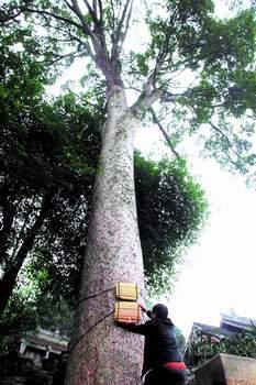 成都十大千年树王评选最老已有2000多岁
