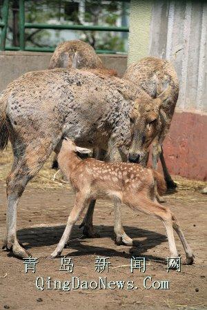 昨天上午,青岛动物园麋鹿园里突然多出了一头麋鹿(俗称四不像)幼仔,它
