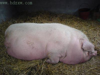 老高是个农民,没有妻儿,2004年6月小猪刚出生不久,老高就把它买下