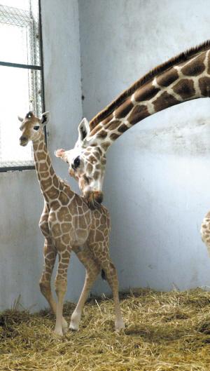 """""""雅戈尔动物园的陈主任说,""""大母""""产后状况良好,一天能吃70斤树叶,外加"""