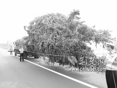 襄荆高速上货车拉树超长十三米 司机称可节省时间