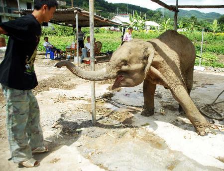 图文:两岁亚洲象成功获救(1)