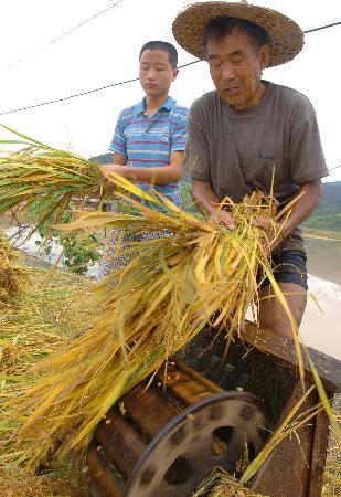 图文:村民抢收稻谷