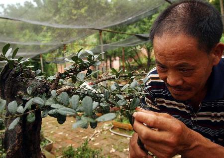 图文:[生态家园](3)三峡濒危植物中华蚊母、疏花水柏枝移栽后长势喜人