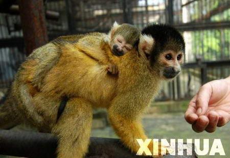 8月8日,合肥市野生动物园一只南美松鼠猴产下小猴.