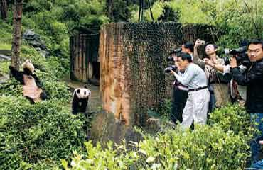 四川卧龙开选赠台熊猫青梅竹马是选秀标准(图)
