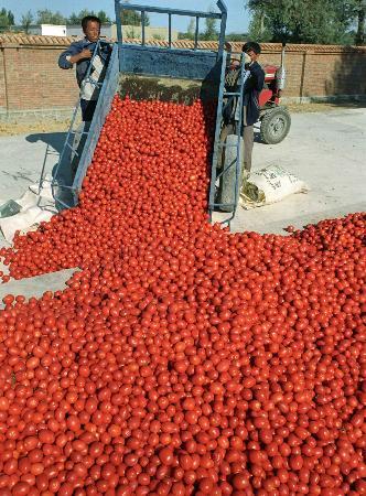 图文:阿勒泰的番茄熟了(3)