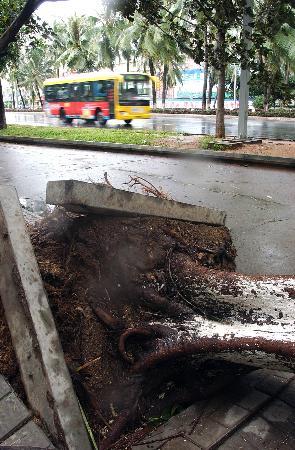 图文:海口街头汽车从被台风刮倒的大树旁边驶过