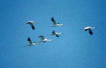 组图:鄱阳湖迎来越冬候鸟