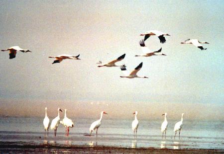 图文:鄱阳湖迎来越冬候鸟(2)