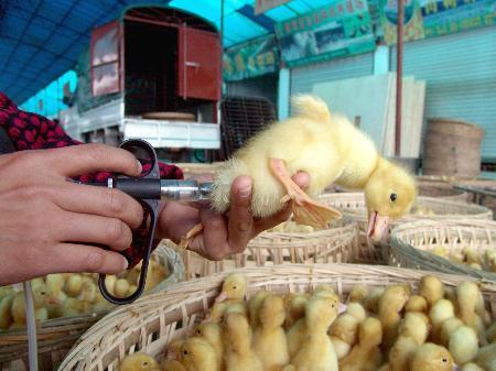 图文:经营者给商品鸭苗注射禽流感疫苗