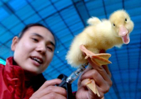 图文:重庆经营者给商品鸭苗注射禽流感疫苗