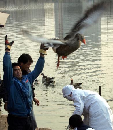 图文:天津注射禽流感疫苗后的湖鹅被放回湖中
