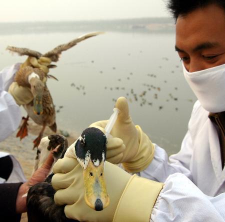 图文:山东沂河对散养的水禽注射禽流感疫苗