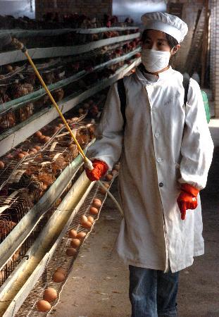 图文:广东南雄养鸡场工作人员对鸡舍进行消毒