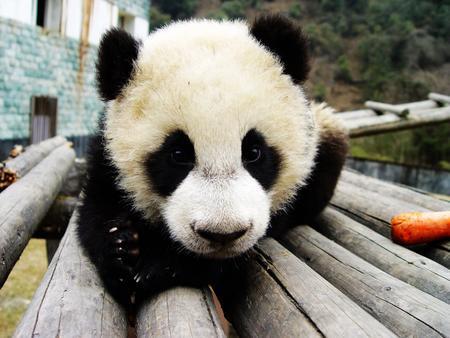 图文:赠台大熊猫16号
