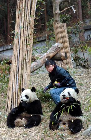 图文:饲养员和赠台大熊猫