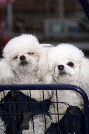 组图:庙会上的狗狗们