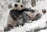 组图:赠台大熊猫团团圆圆冰雪中追逐嬉戏