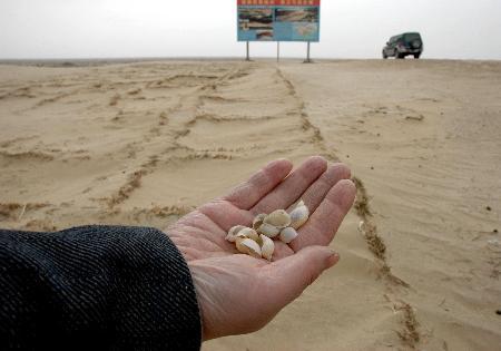 图文:青土湖被沙子掩埋的螺壳