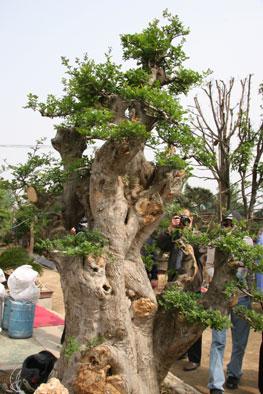 他的公司经营各种花卉苗木和高中低档杂树,古桩,松柏盆景,更是以千百