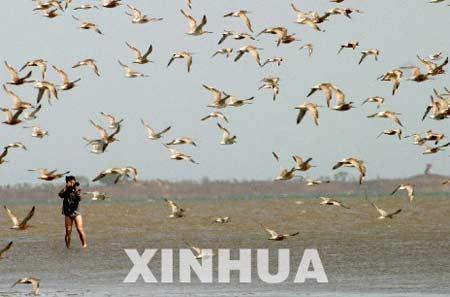 台湾观鸟团在河北乐亭观鸟