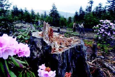 无极剧组所毁杜鹃花丛完全恢复需3至5年
