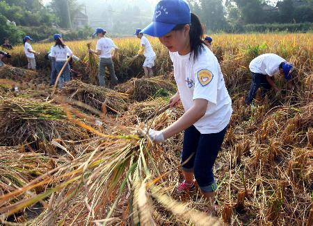 图文:四川大学生志愿者下灾区抢收稻谷