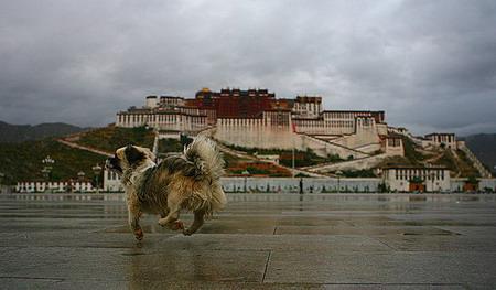 图文:宠物狗跟随着主人在布达拉宫广场狂奔