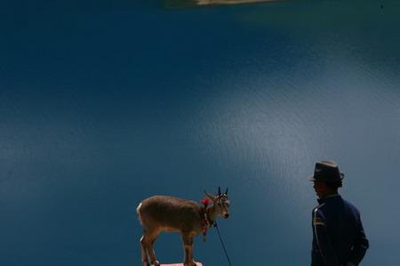 图文:藏民牵着藏羚羊等待着让游人收费拍摄