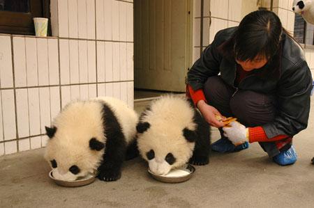 组图:5号和6号大熊猫宝宝双胞胎