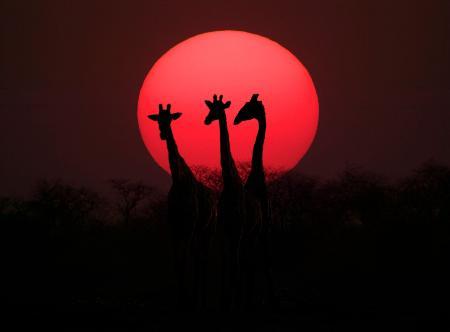 图文:纳米比亚埃托沙国家公园的长颈鹿