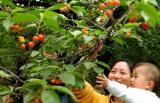 图文:济南的游客和孩子一起采摘樱桃