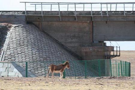 研究人员首次拍摄藏野驴穿越青藏铁路桥梁(图)