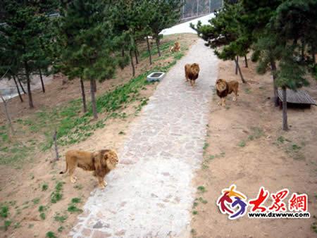 野生动物保护区狮子园