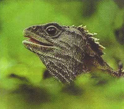 楔齿蜥是夜行性动物,居住在洞穴中,食昆虫,鸟蛋和其他一些小动物.
