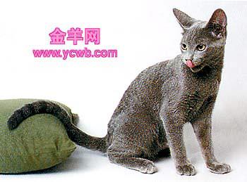 短毛贵族俄罗斯蓝猫(组图)