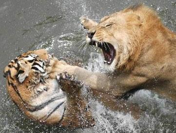 南京市红山森林野生动物园狮虎园狮虎相斗(图)