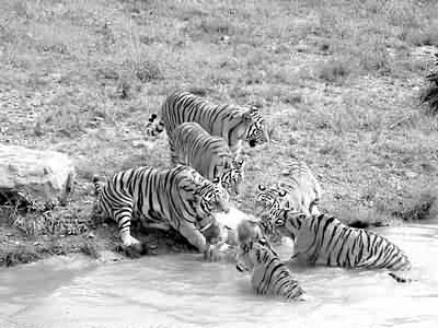 这是记者昨天上午在宁波雅戈尔动物园狮虎野化训练中见到的一幕.