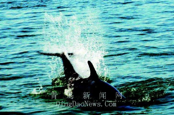 鲸鱼拍打海面激起水花