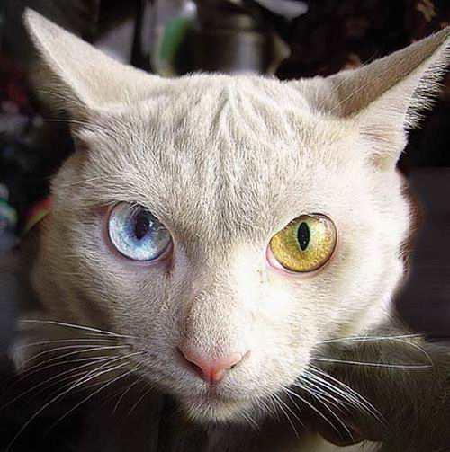 两只眼睛颜色迥异的猫(图)