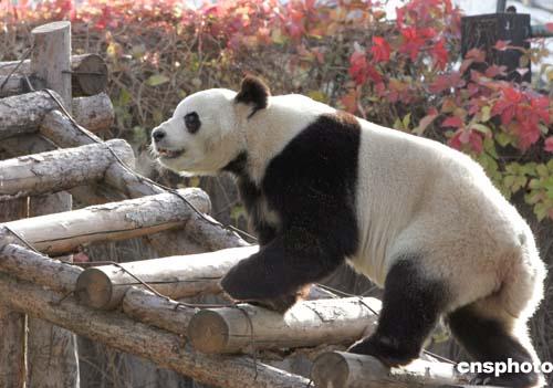 秋去冬来,北京动物园大熊猫馆周边的树木挂满红叶.