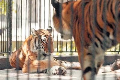 """据了解,广州动物园现有华南虎5只,其中公虎4只,惟一一只母虎就是"""""""