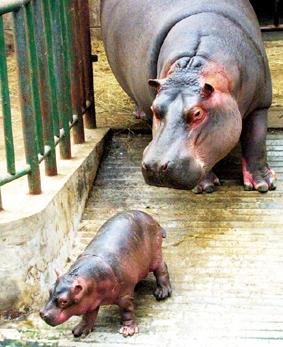 目前这只可爱的小河马正依偎在母亲的身旁,这是南京的动物园首次河马