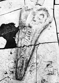 贵州发现大型鱼龙化石(组图)