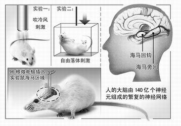 小鼠海马脑区只有半粒米大小